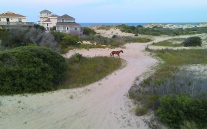Outer Banks Wild Horse